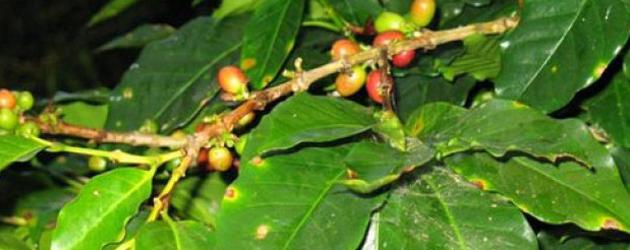 Caffè: il Guatemala annuncia l'emergenza nazionale